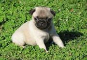 Sweet Pug puppies for sale