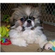 Pekingese puppy for a Good home