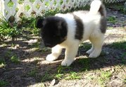 Well Socialized Akita Puppies for sale